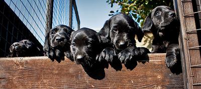 labrador-kiskutyak