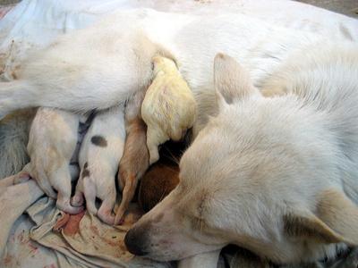 kutya-ellik