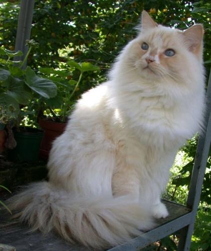 ragamuffin-macskafajta