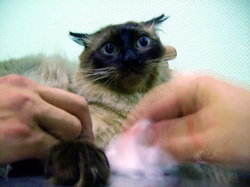 macska, állatorvos, veterinar, vet