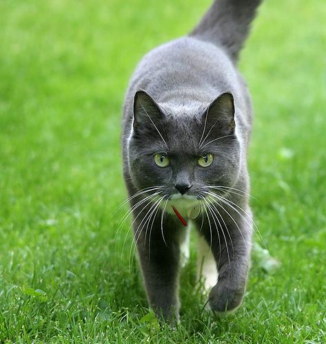 setalo-szurke-macska