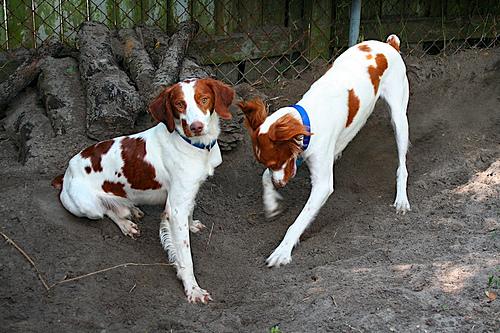Ásó kutyák