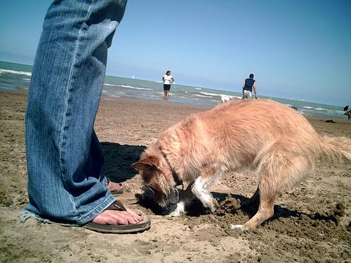 Ásó kutya