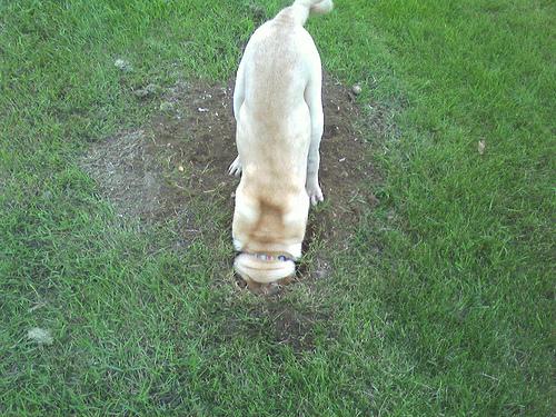 Kutya feje a földben