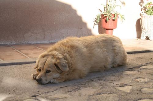 Kövér kutyus