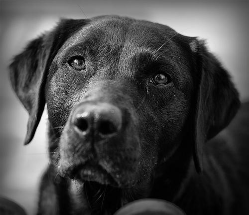 Fekete-labrador-retriever