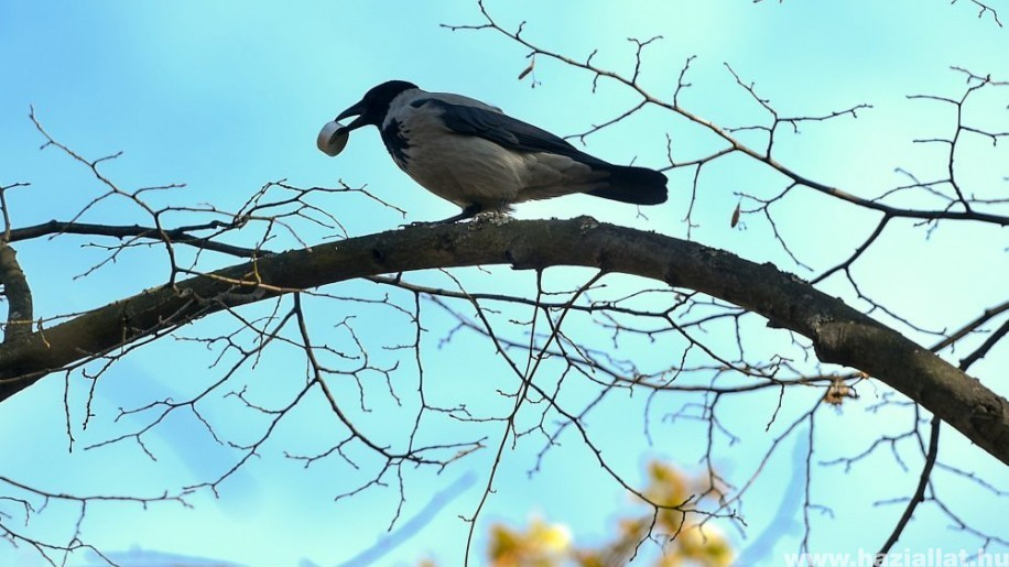 A dolmányos varjú (Corvus cornix)