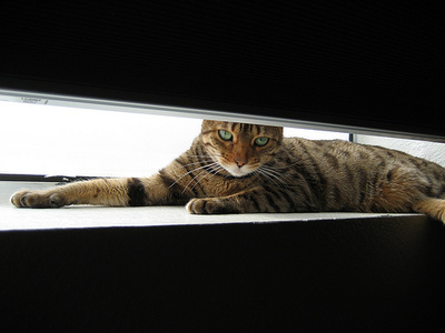 bangali-macska