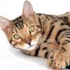A bengáli macska profilja