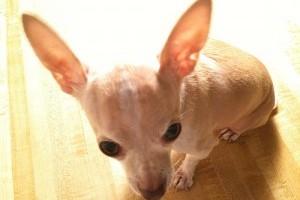 A kutyák fülfertőzésének komplikációi