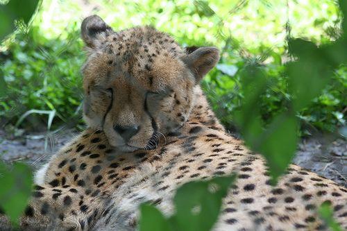 Sziesztázó állatkerti gepárd