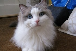 A macska szőrcsomójának kezelése