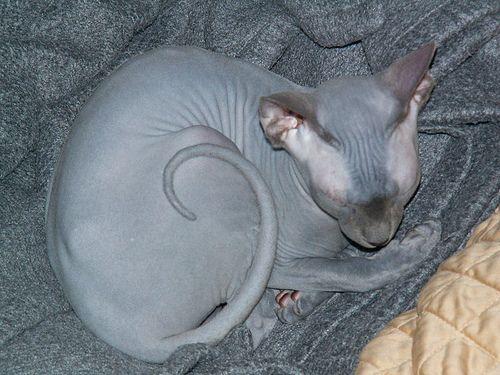 Bár nincs bundája, ez a különleges macskafajta gondos ápolást igényel