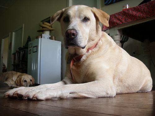 Labradorok