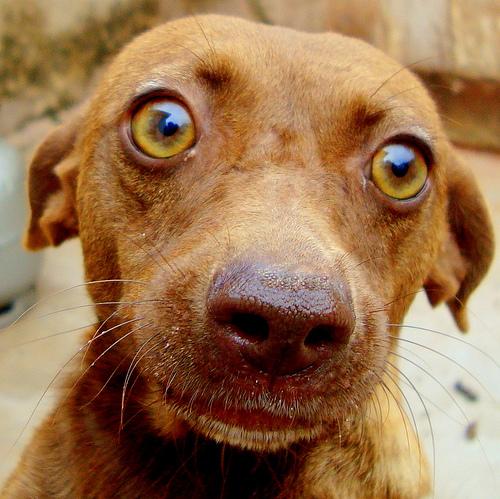 Zöld szemű kutya