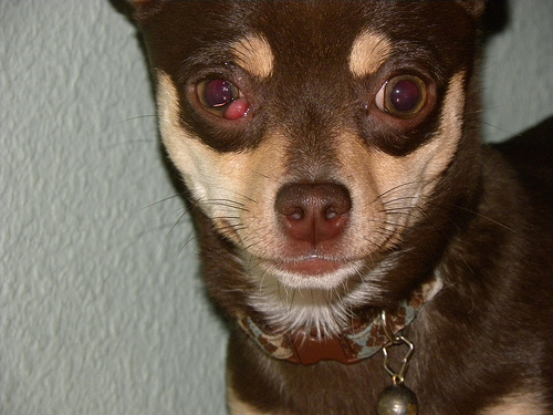 Kutyak szembetegségei