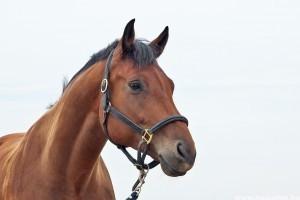 Hogyan gyógyítsuk a lovak nyári ekcémáját?