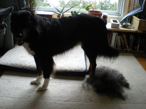 kutya, ápolt kutya, kutya fésülése