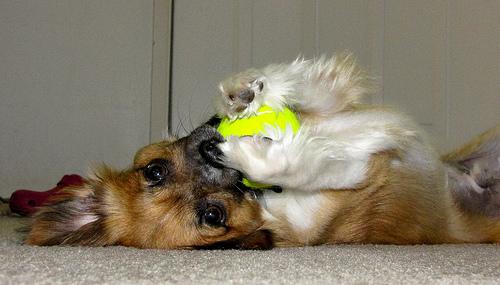 kutya, kutyás kép, chihuahua