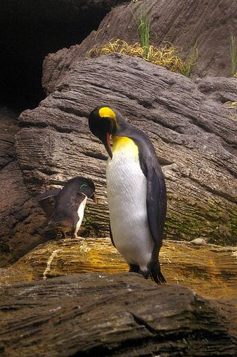pingvin, császárpingvin, pingvines kép