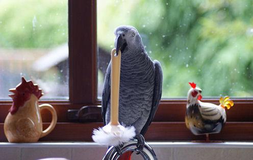 jako-papagaj-a-konyhaban