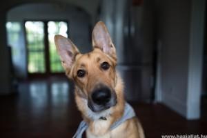 Kutya fülgyulladás: hogyan kezeljük házilag?