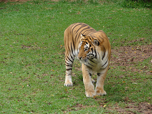 tigris, tigrises kép, nagymacska, vadmacska