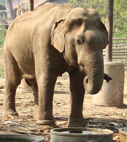 elefánt, ázsiai elefánt, indiai elefánt, elefántos kép