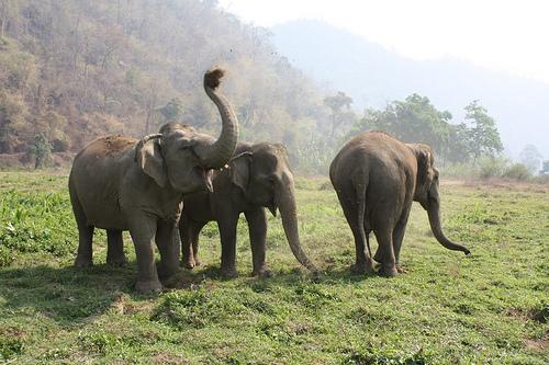 elefánt, ázsiai elefánt, indiai elefánt, elefántok