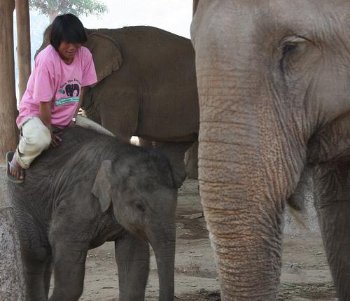 elefánt, elefántos kép, ázsiai elefánt, megszelídített elefánt, indiai elefánt