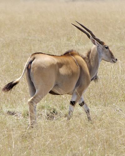 taurotragus oryx, antilop, antilopos kép, jávorantilop
