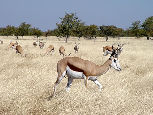 vándorantilop, antilop, antilopos kép, vándorantilop kép