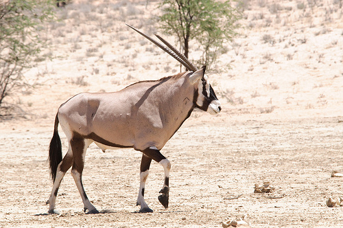 passzán, antilop faj, antilopos kép