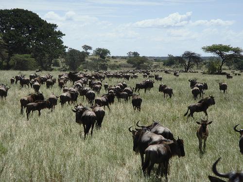 gnú, antilop faj, gnú kép, antilop kép