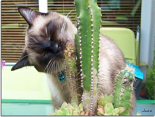 macska, sziámi, sziámi macska, cica, cicás kép, macskás kép