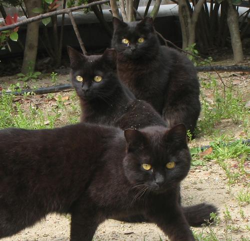 macska, cica, macskás kép, cicás kép, fekete cicák, fekete macskák