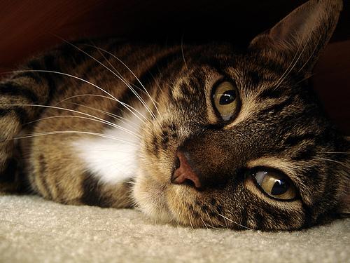 macska, cica, cicás kép, macskás kép, fekvő cica, beteg cica