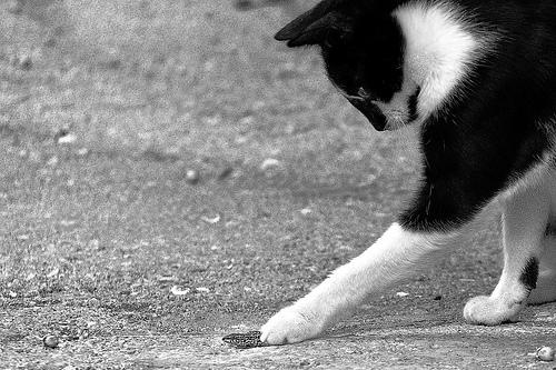 macskás kép, vadászó macska, cicás kép, macska, cica, macska zsákmány