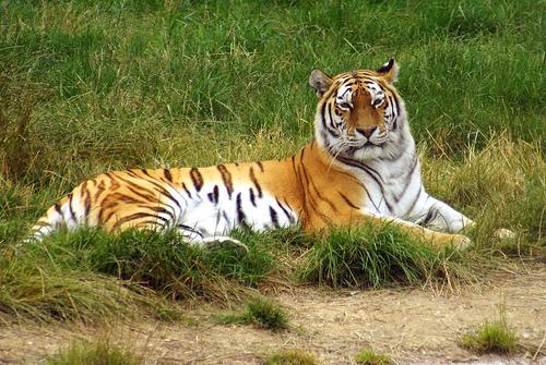 Szibériai tigris, tigris