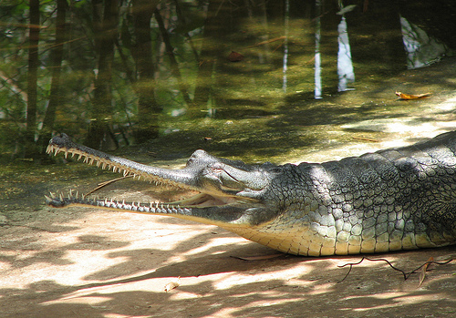 gangeszi gaviál, krokodil