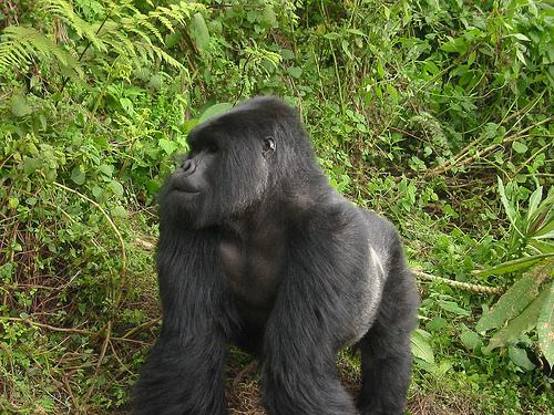 hegyi gorilla, gorilla