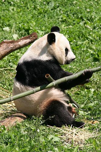 óriás panda, panda, panda maci