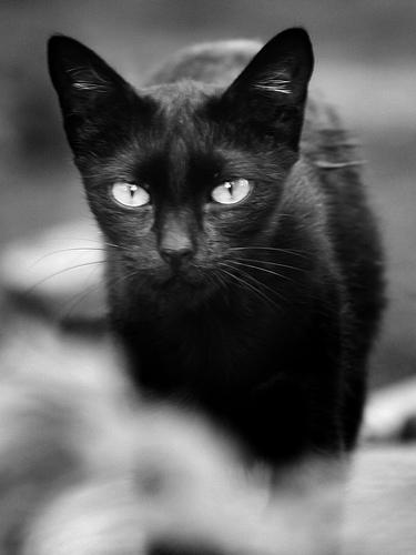 macska, cica, fekete macska, fekete cica, cicás kép, macskás kép