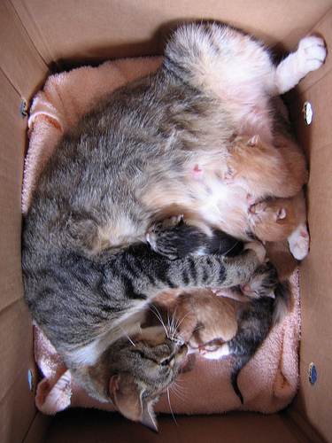 macska, elletőláda, kismacskák, szoptatás, tisztogatás