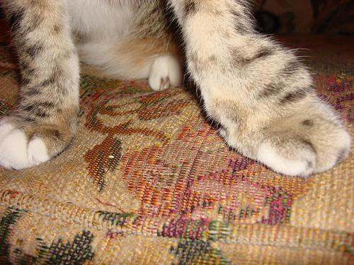 macska, laphámrák, kezelés, terápia, megelőzés, vakkcina