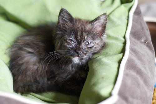 macska, fibrosarcoma, szemkezelés, terápia