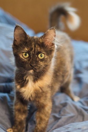 macska, fibrosarcoma, kezelés, terápia