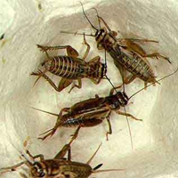 vitorlásgekkó, terrárium, rovar, tücsök, etetés