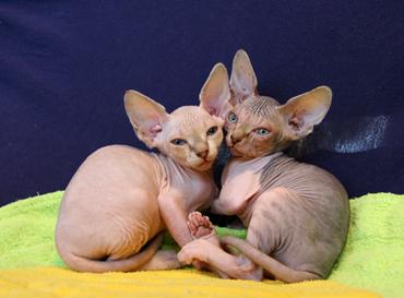 macskafajta, szfinx macska, szőrhullató, macskaszőr, tenyésztett macska,allergia