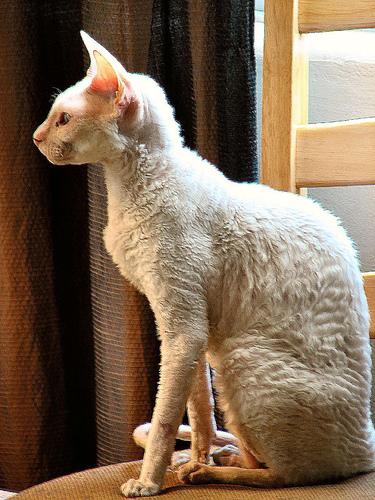 macskafajta, cornish rex, szőrhullató, macskaszőr, tenyésztett macska,allergia